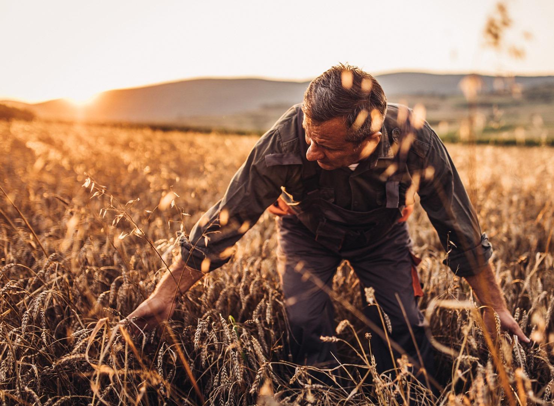 wheat-image-man